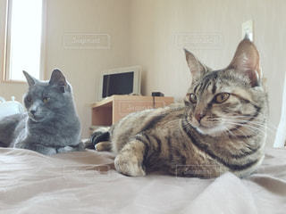 ベッドの上で横になっている猫の写真・画像素材[1259947]