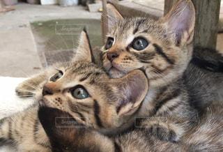 生後3ヶ月くらいの子猫さんの写真・画像素材[1259956]