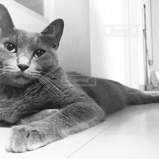 横になって、カメラを見ている猫の写真・画像素材[1259959]
