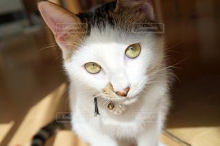 カメラにポーズ白猫さんの写真・画像素材[1259960]