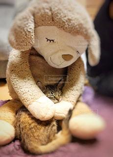 ぬいぐるみの腕の中で眠る子猫の写真・画像素材[1268913]