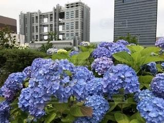 花,屋外,紫陽花,梅雨空
