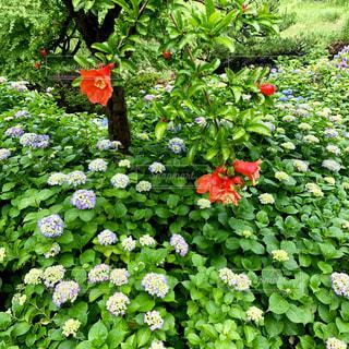 自然,花,紫陽花,梅雨,柘榴