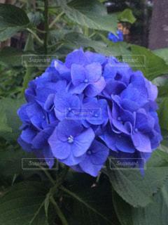 花,あじさい,紫陽花,アジサイ