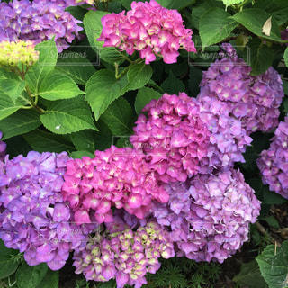 花,ピンク,赤,青,紫,景色,パープル,紫陽花,ブルー,アジサイ,インスタ映え