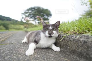 地面に横になっている灰色と白猫の写真・画像素材[1275423]