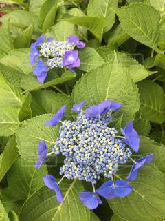 花,紫,葉,紫陽花,梅雨,額紫陽花
