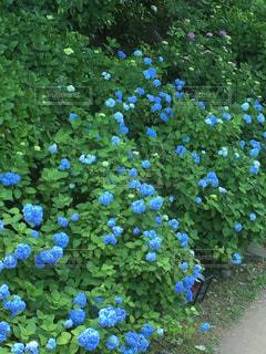 青,紫陽花,梅雨