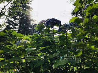 雨 紫陽花