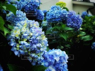 自然,花,屋外,青,紫陽花,梅雨