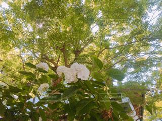 緑,白,あじさい,紫陽花,新緑,梅雨,寺,アジサイ,フォトジェニック
