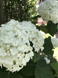 紫陽花,梅雨,アナベル