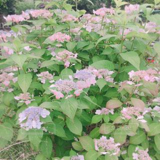 梅雨 紫陽花 アジサイ