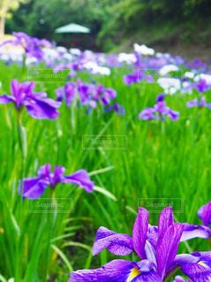 紫の花の束の写真・画像素材[1244416]