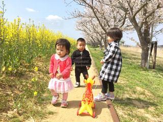 桜と菜の花の下での写真・画像素材[1316725]