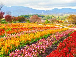 畑一面の花畑の写真・画像素材[1578671]