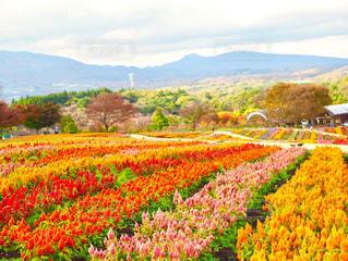 畑一面の花の写真・画像素材[1578689]