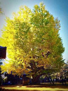 西蓮寺の大きなイチョウの木の写真・画像素材[1613309]