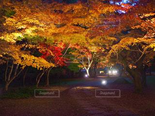 もみじ谷のライトアップの写真・画像素材[1643287]