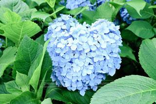 京都,かわいい,紫,パープル,ハート型,紫陽花,グラデーション