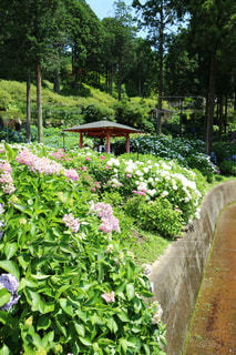 京都,かわいい,あじさい,紫,パープル,紫陽花,グラデーション,三室戸寺,三室戸寺のあじさい園