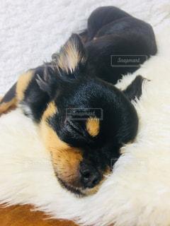 チワワ,部屋,休日,のんびり,愛犬,ブラックタン,まったり,気持ちよく昼寝