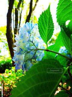 花,緑,葉,紫陽花,草木