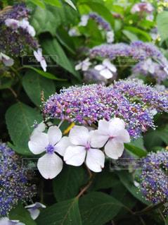 花,紫,景色,紫陽花,草木
