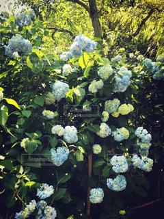 花,屋外,樹木,紫陽花,梅雨,デート,鎌倉,草木,ガーデン