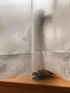 カーテンの裏のうさぎの写真・画像素材[1245053]