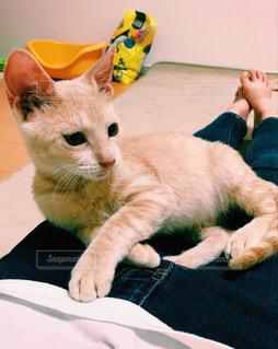 猫,お部屋,白,足,ジーンズ,部屋,室内,くつろぐ,のんびり,愛猫,膝の上,ネコ