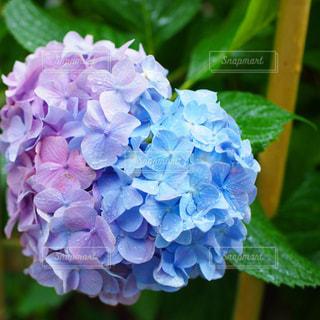 自然,花,雨,カラフル,ハート,紫陽花,梅雨,草木