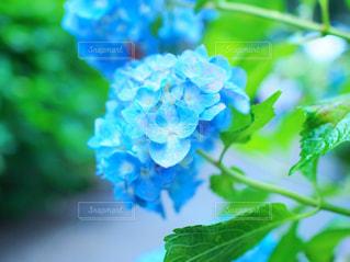 自然,花,雨,青,紫陽花,可愛い,梅雨,草木