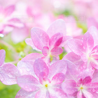 花,雨,ピンク,鮮やか,紫陽花,可愛い,梅雨,ふんわり