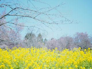 フィールド内の黄色の花の写真・画像素材[1238352]