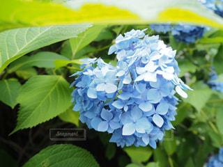 花,あじさい,青,ハート,紫陽花,梅雨,草木,インスタ映え