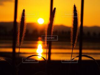 自然,空,夕日,夕焼け,田舎,水田,ねこじゃらし,田んぼ,夕陽
