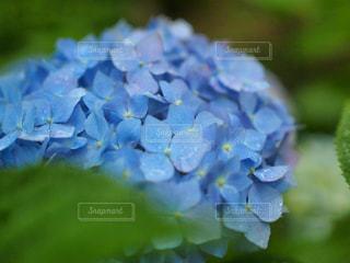 紫陽花の季節の写真・画像素材[2214825]