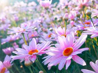 ピンクのマーガレット畑の写真・画像素材[1409745]