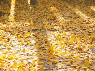 自然,秋,紅葉,観光,イチョウ,銀杏,香川県,11月,トレンド,黄色い絨毯,インスタ映え,大窪寺,さぬき市