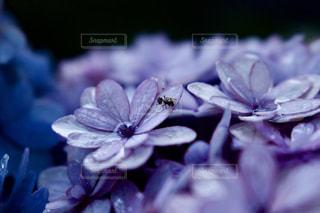 紫陽花,虫,アジサイ