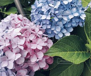 屋外,紫陽花,都会,日中,+梅雨