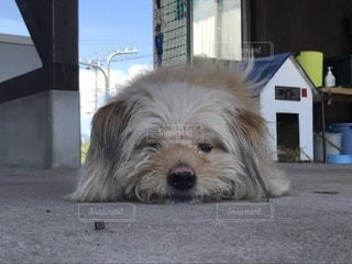 建物の前に横たわっている茶色と白犬の写真・画像素材[1696179]
