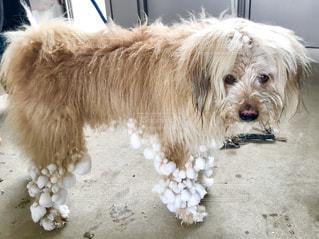 茶色と白犬の写真・画像素材[1699008]