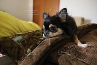 犬,チワワ,屋内,寝顔,ベッド,チワワの女の子,お部屋でのんびり