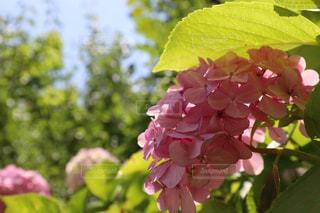 花,晴れ,紫陽花,梅雨,梅雨を吹き飛ばそう,ホンアジサイ