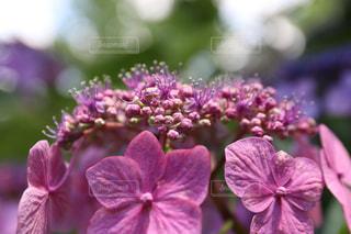 花,晴れ,紫陽花,梅雨,ガクアジサイ,梅雨を吹き飛ばそう