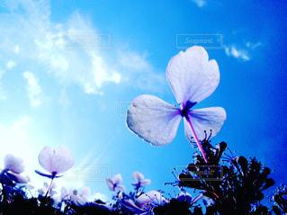 青い紫陽花と青い空。飛びたくなるかい?(笑)の写真・画像素材[1236551]