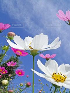 花,秋,コスモス,nature,フォトジェニック,色・表現