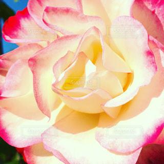 自然,花,ピンク,薔薇,アップ,桃色,nature,フォトジェニック,色・表現